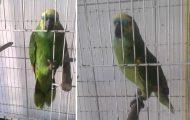 Παπαγάλος τραγουδάει Rihanna