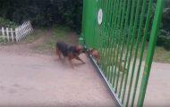 Σκύλοι ετοιμάζονται για άγριο καβγά...