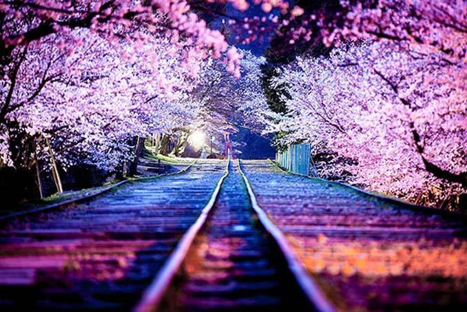 Ανθισμένες κερασιές σε νυχτερινές φωτογραφίες (1)