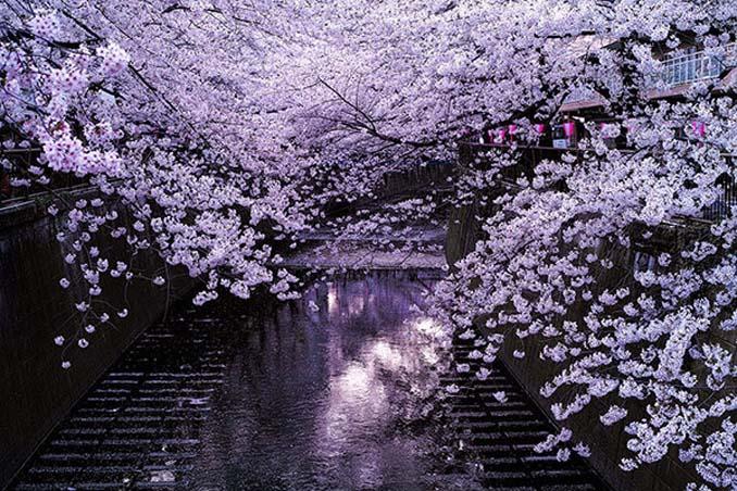 Ανθισμένες κερασιές σε νυχτερινές φωτογραφίες (3)