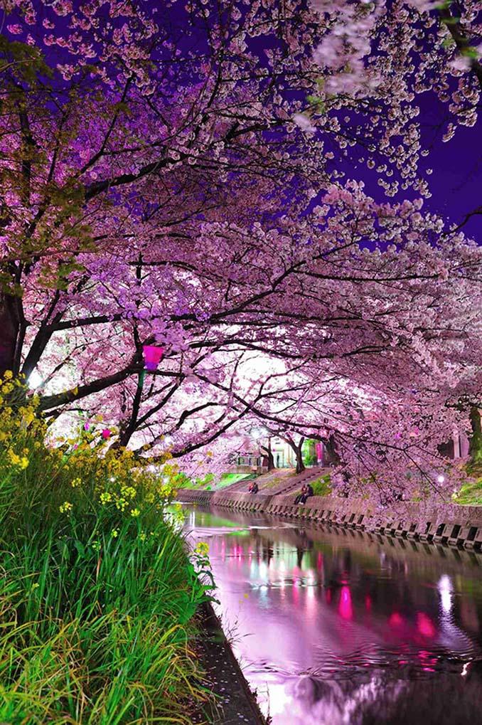 Ανθισμένες κερασιές σε νυχτερινές φωτογραφίες (4)