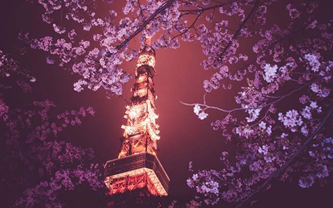 Ανθισμένες κερασιές σε νυχτερινές φωτογραφίες (6)