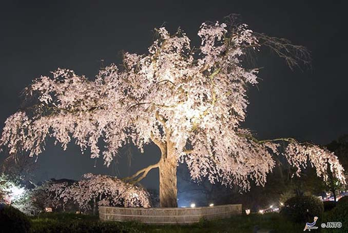 Ανθισμένες κερασιές σε νυχτερινές φωτογραφίες (7)
