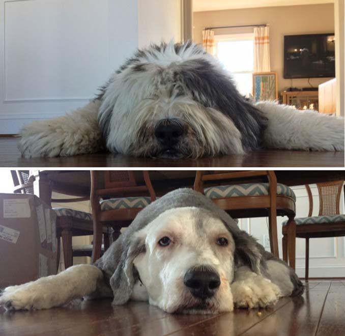 Απίθανες φωτογραφίες σκύλων πριν και μετά το κούρεμα (4)