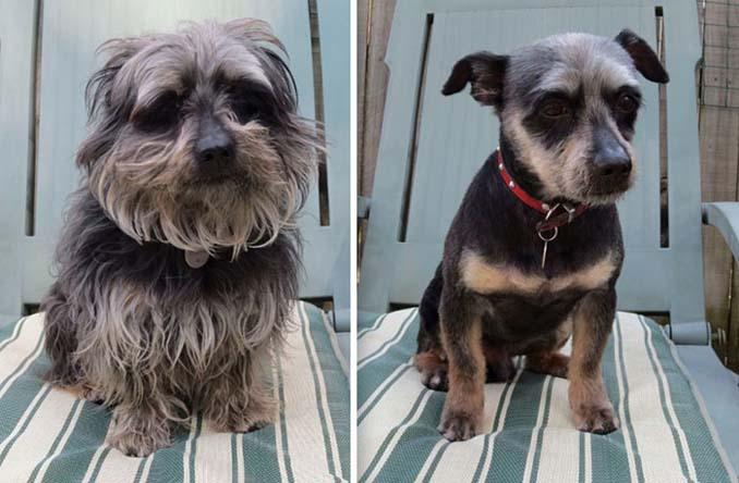 Απίθανες φωτογραφίες σκύλων πριν και μετά το κούρεμα (7)
