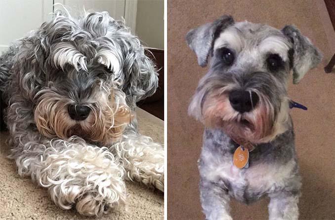 Απίθανες φωτογραφίες σκύλων πριν και μετά το κούρεμα (8)