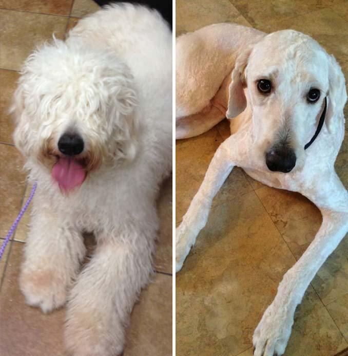 Απίθανες φωτογραφίες σκύλων πριν και μετά το κούρεμα (9)