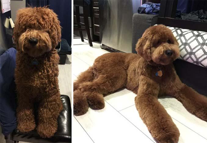Απίθανες φωτογραφίες σκύλων πριν και μετά το κούρεμα (22)