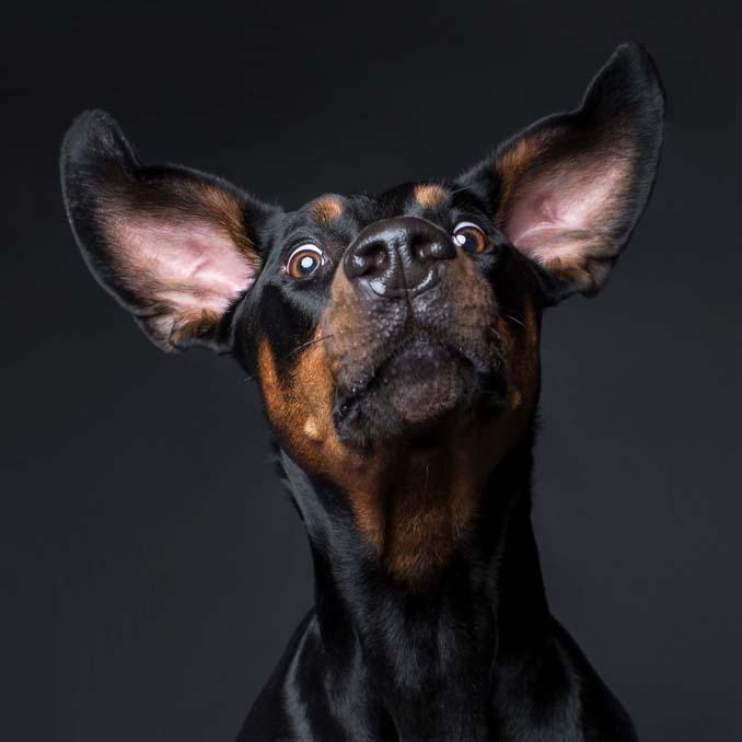 Τα απίθανα πορτραίτα ενός φωτογράφου σκύλων που ειδικεύεται στις αστείες γκριμάτσες (15)