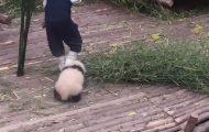 Panda θέλει αγκαλιές και δεν αφήνει τον φροντιστή του να δουλέψει