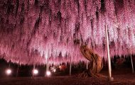 Το Φεστιβάλ με τις Γλυτσίνιες στην Ιαπωνία είναι κάτι σαν παράδεισος επί Γης (1)