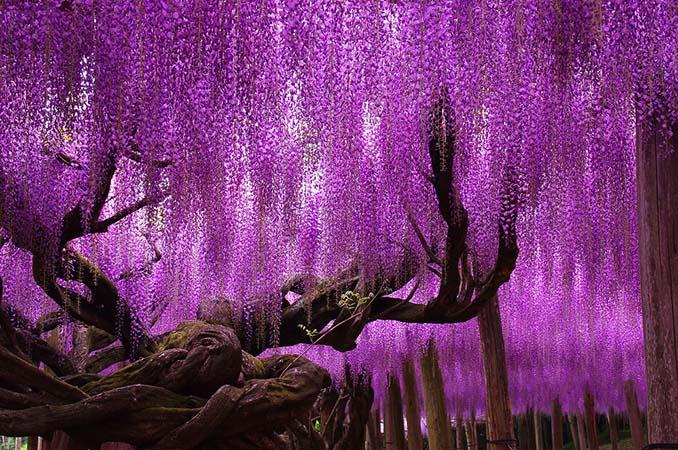 Το Φεστιβάλ με τις Γλυτσίνιες στην Ιαπωνία είναι κάτι σαν παράδεισος επί Γης (2)