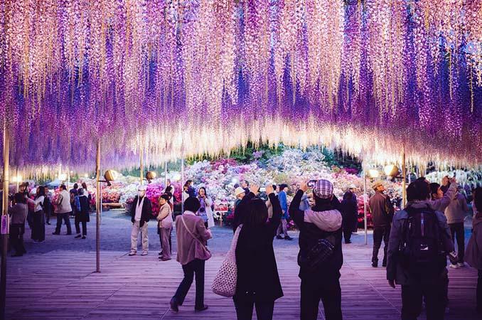 Το Φεστιβάλ με τις Γλυτσίνιες στην Ιαπωνία είναι κάτι σαν παράδεισος επί Γης (3)