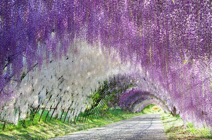 Το Φεστιβάλ με τις Γλυτσίνιες στην Ιαπωνία είναι κάτι σαν παράδεισος επί Γης (4)