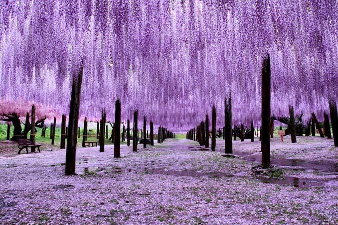 Το Φεστιβάλ με τις Γλυτσίνιες στην Ιαπωνία είναι κάτι σαν παράδεισος επί Γης (5)