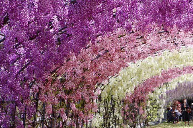 Το Φεστιβάλ με τις Γλυτσίνιες στην Ιαπωνία είναι κάτι σαν παράδεισος επί Γης (6)