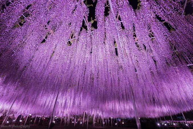 Το Φεστιβάλ με τις Γλυτσίνιες στην Ιαπωνία είναι κάτι σαν παράδεισος επί Γης (7)