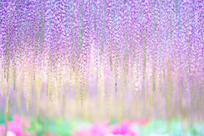Το Φεστιβάλ με τις Γλυτσίνιες στην Ιαπωνία είναι κάτι σαν παράδεισος επί Γης (8)