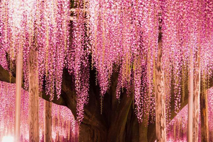 Το Φεστιβάλ με τις Γλυτσίνιες στην Ιαπωνία είναι κάτι σαν παράδεισος επί Γης (9)