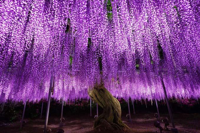 Το Φεστιβάλ με τις Γλυτσίνιες στην Ιαπωνία είναι κάτι σαν παράδεισος επί Γης (10)