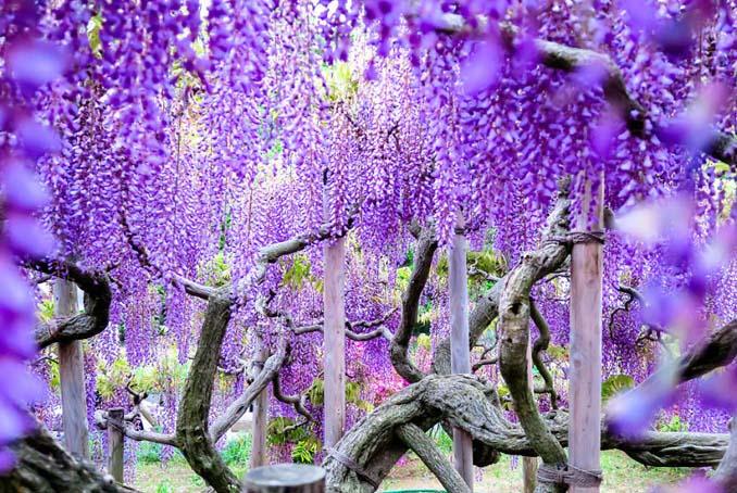 Το Φεστιβάλ με τις Γλυτσίνιες στην Ιαπωνία είναι κάτι σαν παράδεισος επί Γης (14)