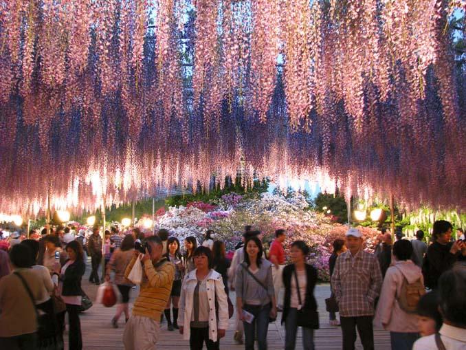 Το Φεστιβάλ με τις Γλυτσίνιες στην Ιαπωνία είναι κάτι σαν παράδεισος επί Γης (15)