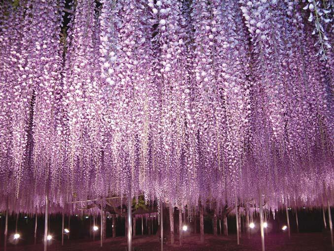 Το Φεστιβάλ με τις Γλυτσίνιες στην Ιαπωνία είναι κάτι σαν παράδεισος επί Γης (19)