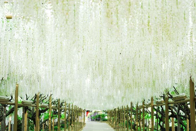 Το Φεστιβάλ με τις Γλυτσίνιες στην Ιαπωνία είναι κάτι σαν παράδεισος επί Γης (20)