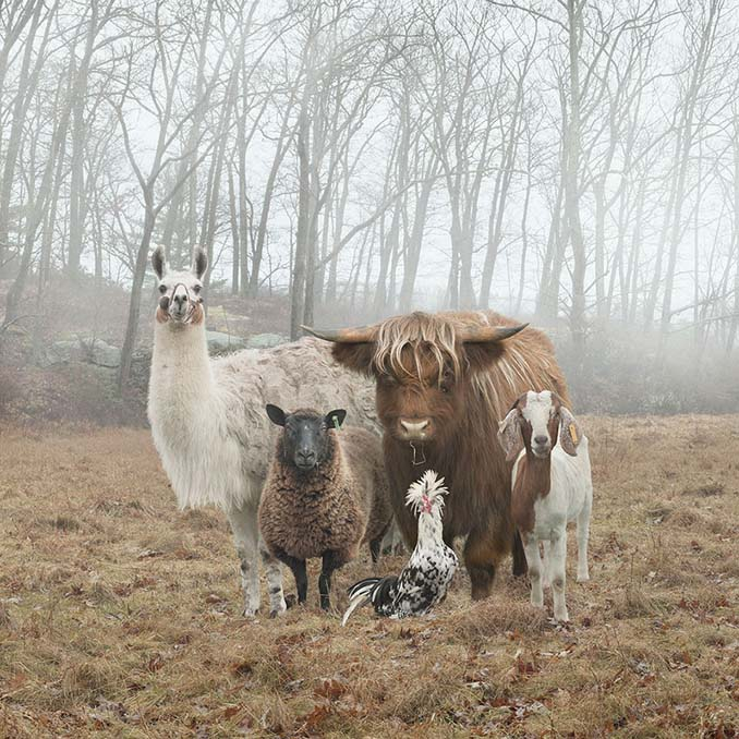 Φωτογραφίζοντας τα ζώα της φάρμας έτσι όπως δεν τα έχετε ξαναδεί (1)