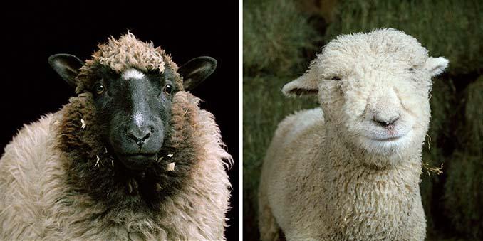 Φωτογραφίζοντας τα ζώα της φάρμας έτσι όπως δεν τα έχετε ξαναδεί (2)