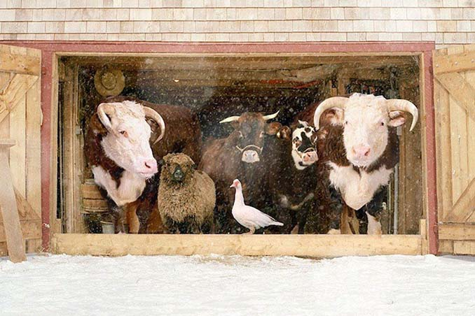 Φωτογραφίζοντας τα ζώα της φάρμας έτσι όπως δεν τα έχετε ξαναδεί (3)