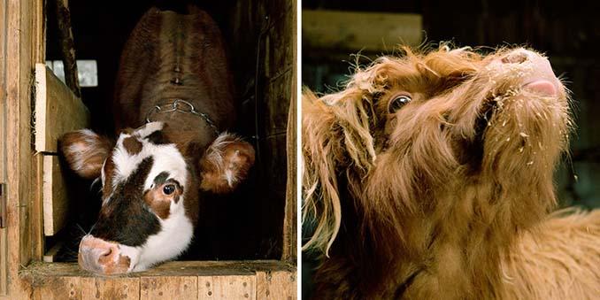 Φωτογραφίζοντας τα ζώα της φάρμας έτσι όπως δεν τα έχετε ξαναδεί (5)
