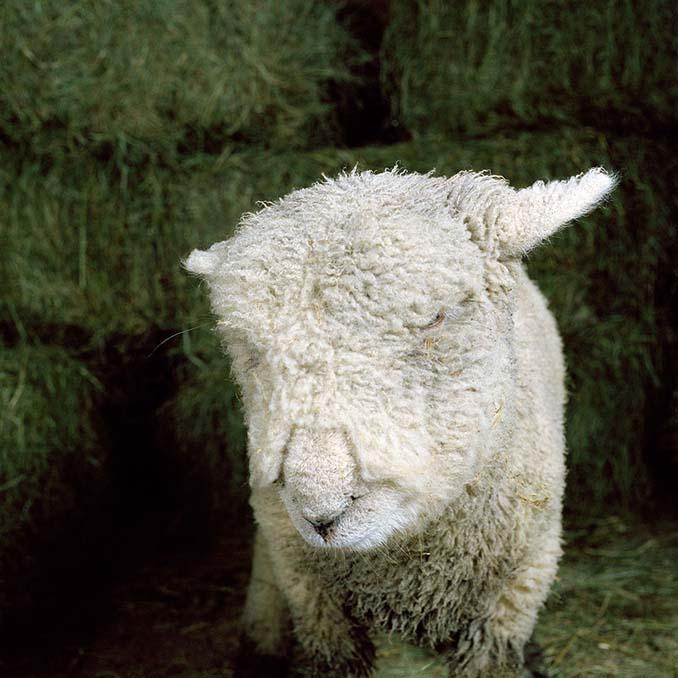 Φωτογραφίζοντας τα ζώα της φάρμας έτσι όπως δεν τα έχετε ξαναδεί (6)