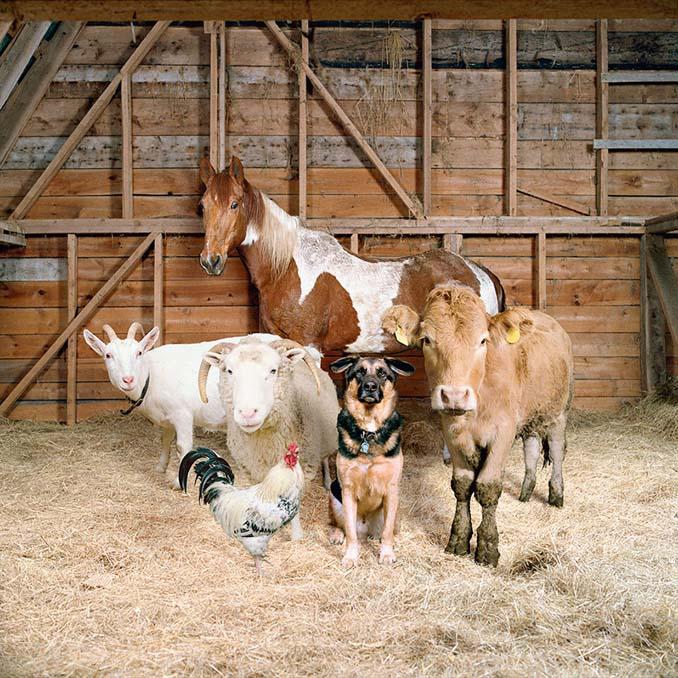 Φωτογραφίζοντας τα ζώα της φάρμας έτσι όπως δεν τα έχετε ξαναδεί (8)