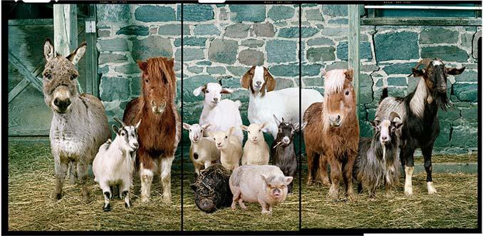 Φωτογραφίζοντας τα ζώα της φάρμας έτσι όπως δεν τα έχετε ξαναδεί (9)