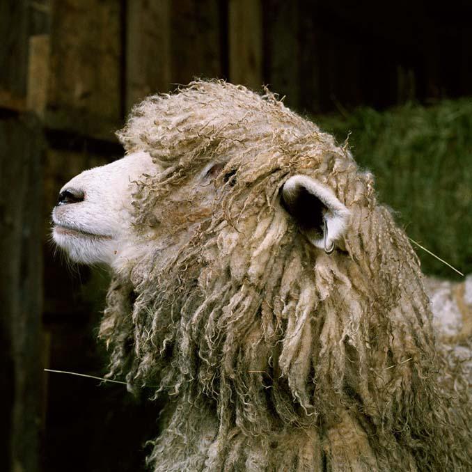 Φωτογραφίζοντας τα ζώα της φάρμας έτσι όπως δεν τα έχετε ξαναδεί (10)