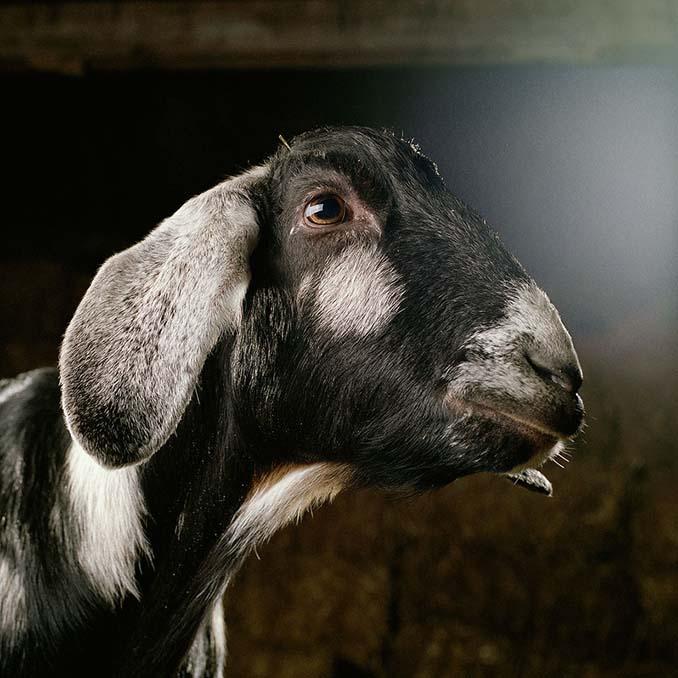Φωτογραφίζοντας τα ζώα της φάρμας έτσι όπως δεν τα έχετε ξαναδεί (13)