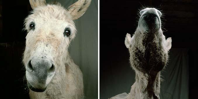 Φωτογραφίζοντας τα ζώα της φάρμας έτσι όπως δεν τα έχετε ξαναδεί (14)