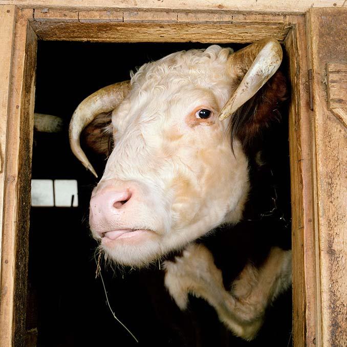 Φωτογραφίζοντας τα ζώα της φάρμας έτσι όπως δεν τα έχετε ξαναδεί (15)