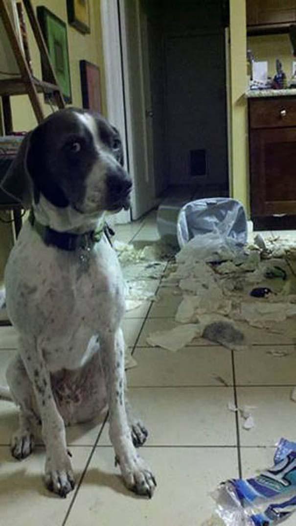 Κατοικίδια που μεταμορφώθηκαν σε καταστροφέα μόλις έμειναν για λίγο μόνα στο σπίτι (21)