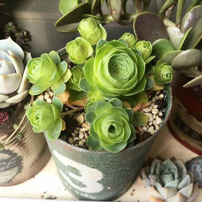 Παχύφυτα που θυμίζουν τριαντάφυλλα (10)