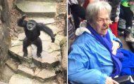 Χιμπατζής πετάει περιττώματα στο πρόσωπο γιαγιάς σε ζωολογικό κήπο