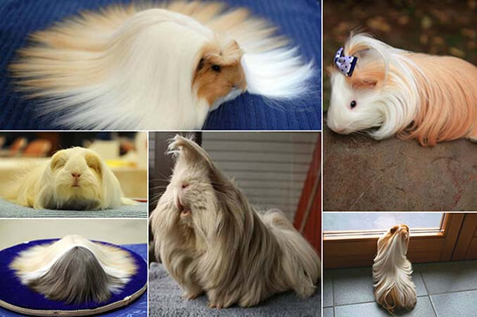 Το πλάσμα με το πιο εντυπωσιακό μαλλί στο ζωικό βασίλειο (1)
