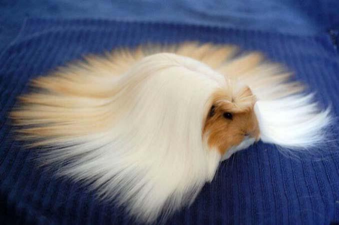 Το πλάσμα με το πιο εντυπωσιακό μαλλί στο ζωικό βασίλειο (2)