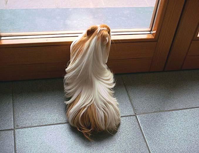 Το πλάσμα με το πιο εντυπωσιακό μαλλί στο ζωικό βασίλειο (3)