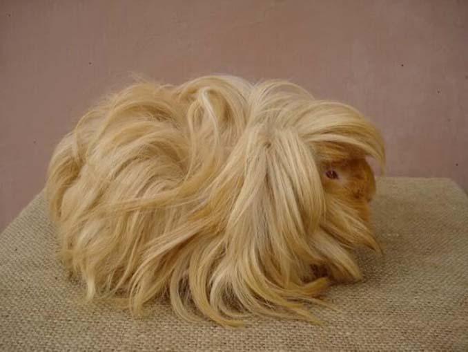 Το πλάσμα με το πιο εντυπωσιακό μαλλί στο ζωικό βασίλειο (6)