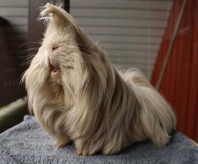 Το πλάσμα με το πιο εντυπωσιακό μαλλί στο ζωικό βασίλειο (7)