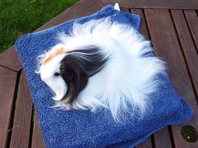 Το πλάσμα με το πιο εντυπωσιακό μαλλί στο ζωικό βασίλειο (14)