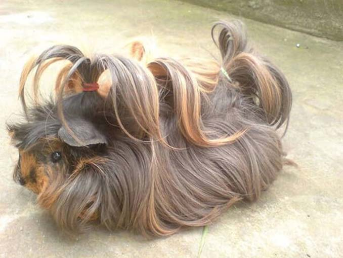 Το πλάσμα με το πιο εντυπωσιακό μαλλί στο ζωικό βασίλειο (15)