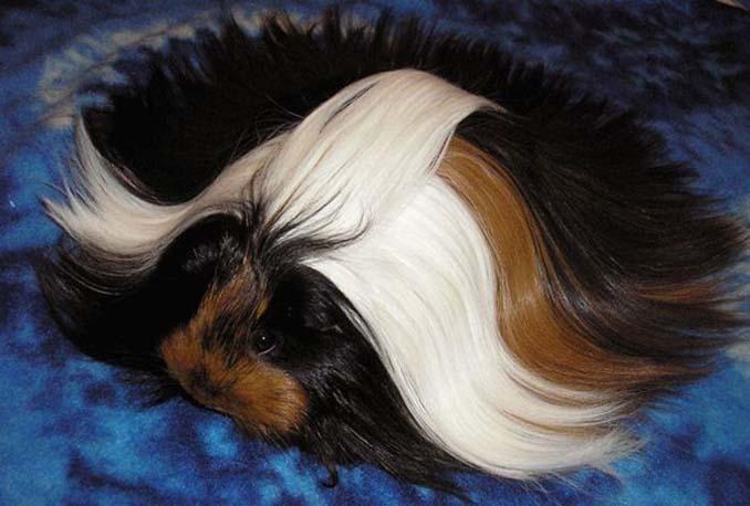 Το πλάσμα με το πιο εντυπωσιακό μαλλί στο ζωικό βασίλειο (17)